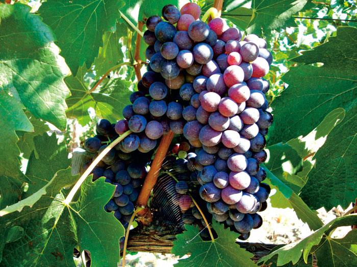 布魯內諾葡萄