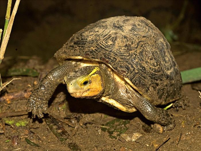 食蛇龜是台灣唯一的陸棲性淡水龜,為雜食性生物, 不會吃蛇。