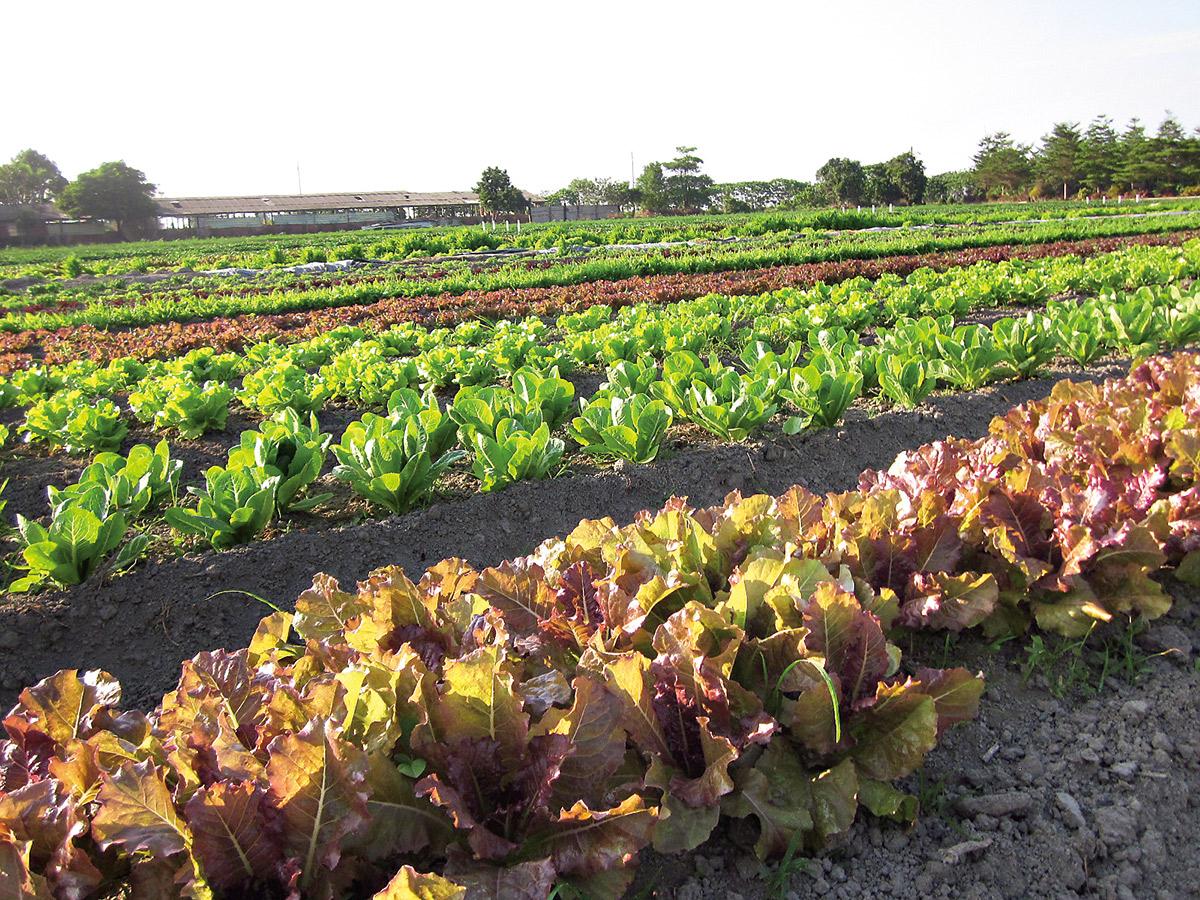 秋冬盛產的生菜,像花田般五顏六色。