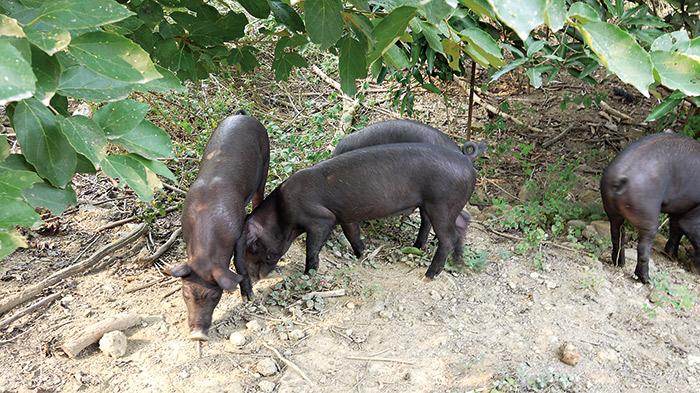 放養在樹下的黑毛豬,特別健康活潑。