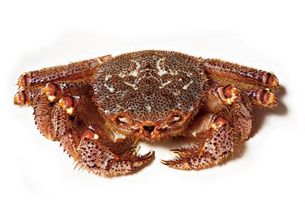 日本毛蟹胸甲威武、絨毛密 布,肉質出奇地甜嫩。