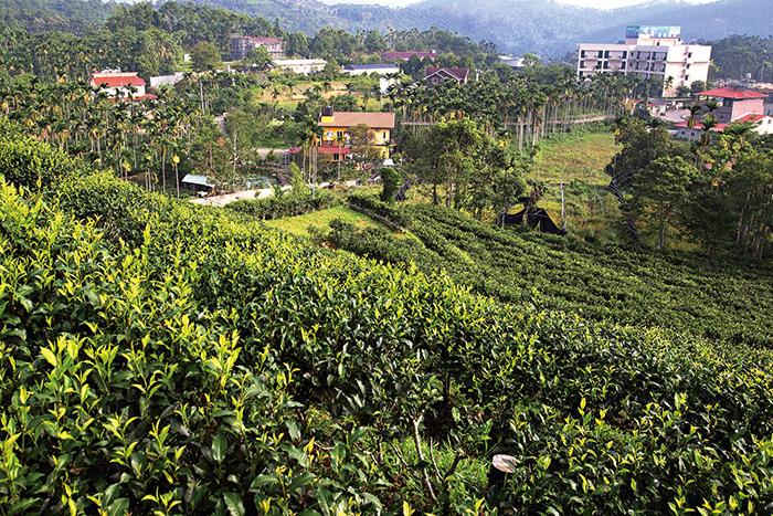 魚池茶葉的採茶成本增高,很多茶農都將茶園改建為民宿,在田中央形 成一種特殊景象。