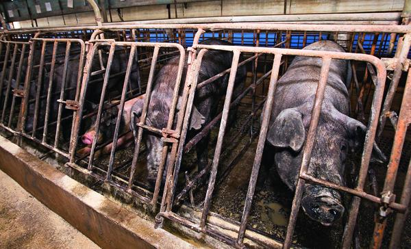 台灣養豬場