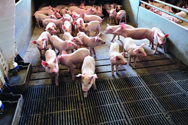 丹麥養豬場的豬,被訓練到特定地點排便,糞便集中處理後,可用於沼氣發電。