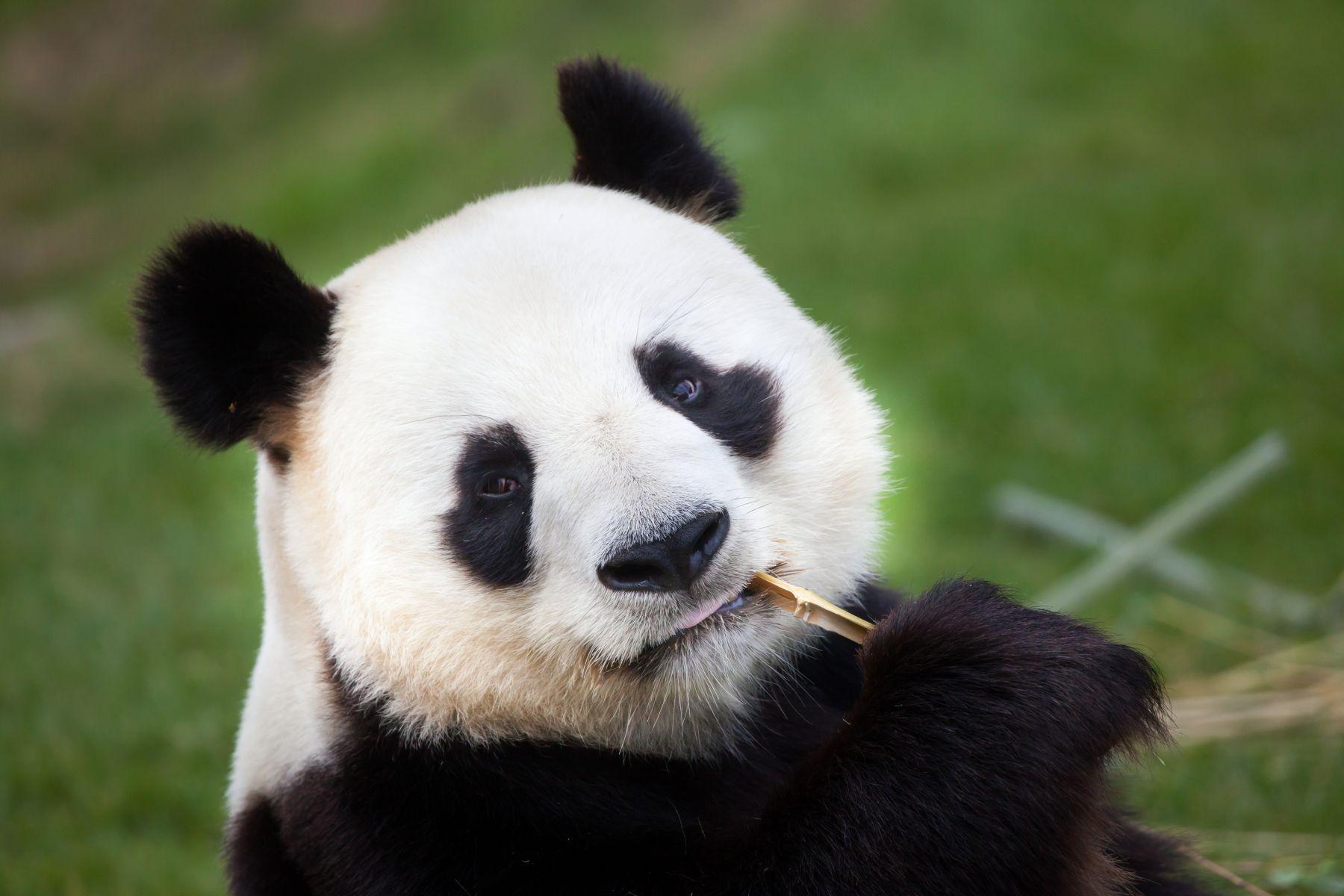 中國擬送貓熊給高雄 呂秋遠批殘忍:只為滿足人類的觀看慾