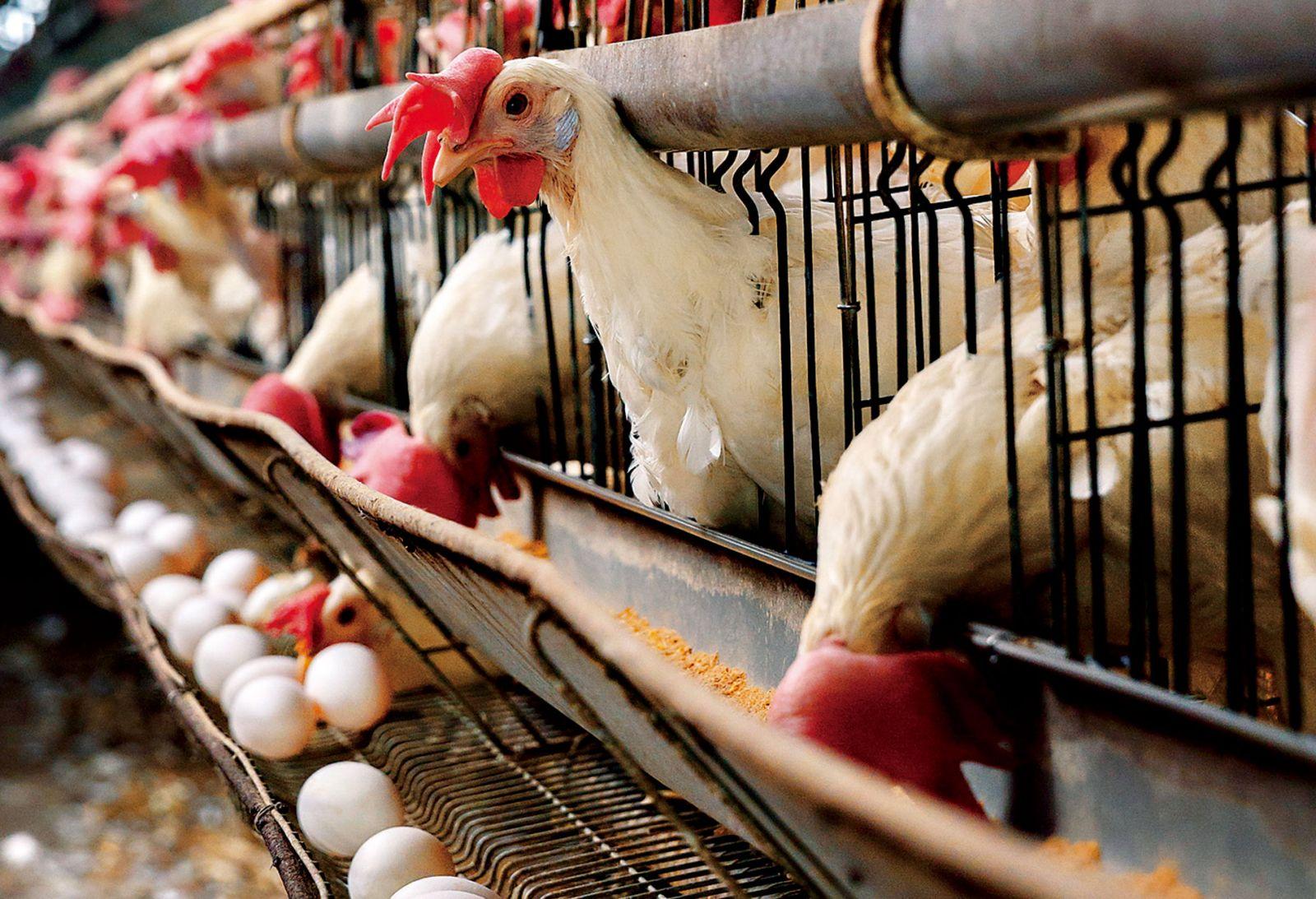 業績貢獻小 為何食品大廠搶併蛋農?