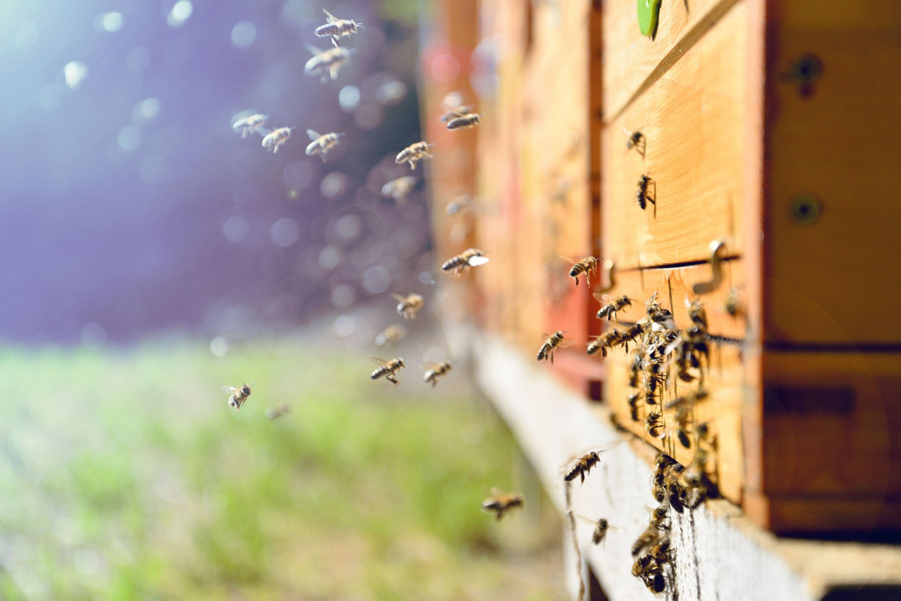 更生人求職四處碰璧,浪子回頭蜜蜂喚!養蜂讓他重獲新生