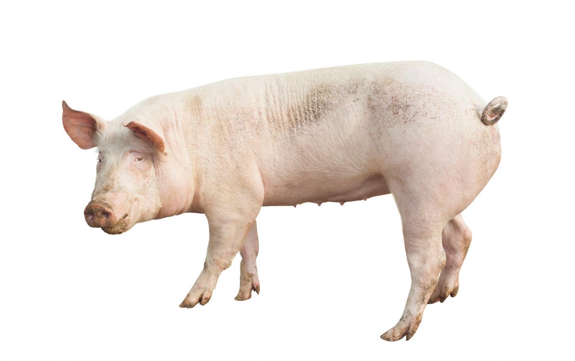 豬瘟可怕,但更怕的是人的疏失