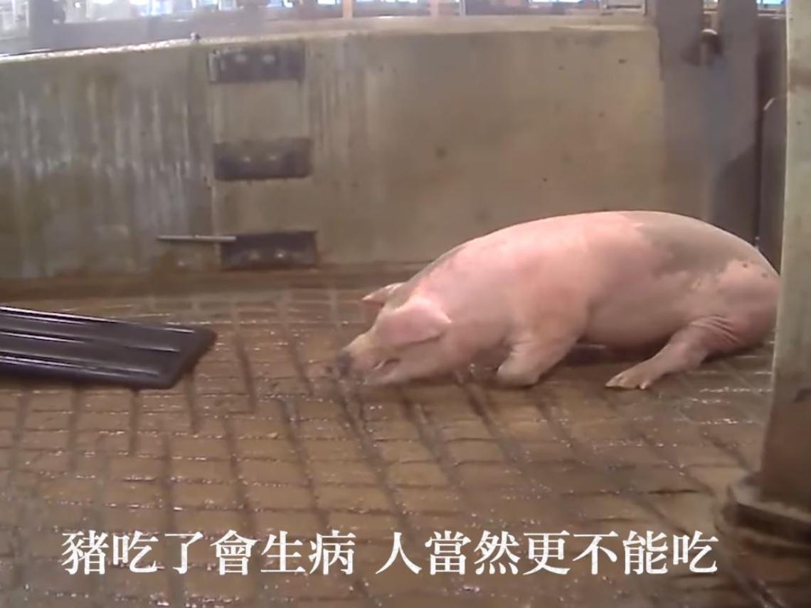 網傳「豬食用萊劑四肢顫抖」 防檢局:假消息已請警調單位偵辦! 國民黨嗆:影片屬實...有憑有據