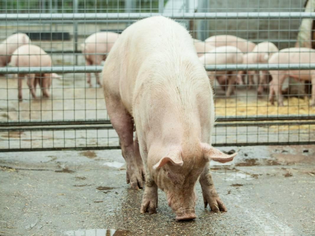 為何很多業者愛用丹麥豬? 他曝「海放」台灣豬原因:光母豬產房就要價2億!
