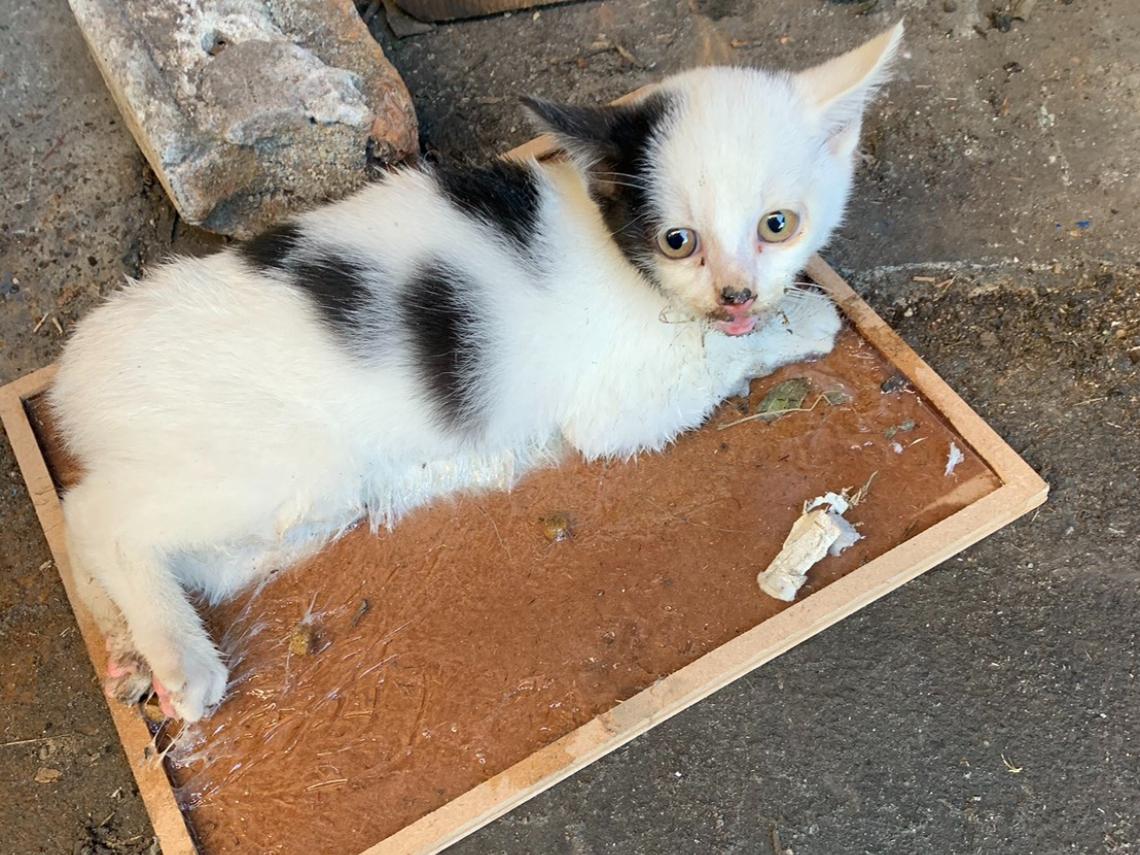 幼貓整隻中了「黏鼠板」怎辦? 硬拔恐皮肉分離 獸醫師:準備沙拉油和麵粉!