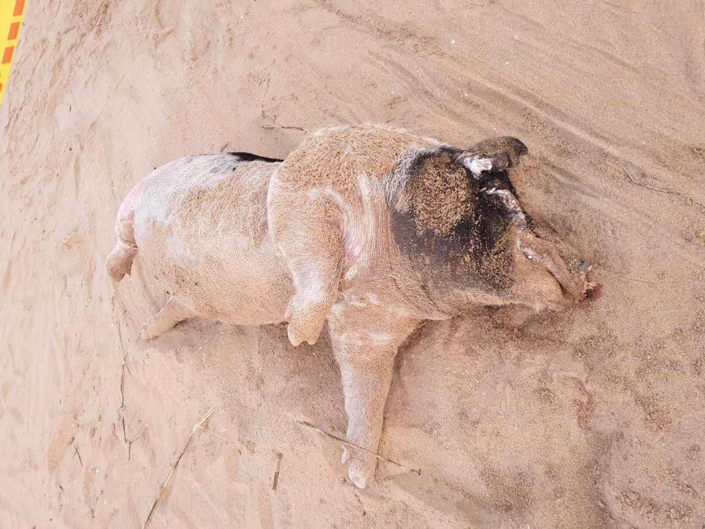 1113非洲豬瘟》領飼料補助卻偷用廚餘,檢舉豬場拿獎金!中國環境病毒含量高,養豬數剩不到一成