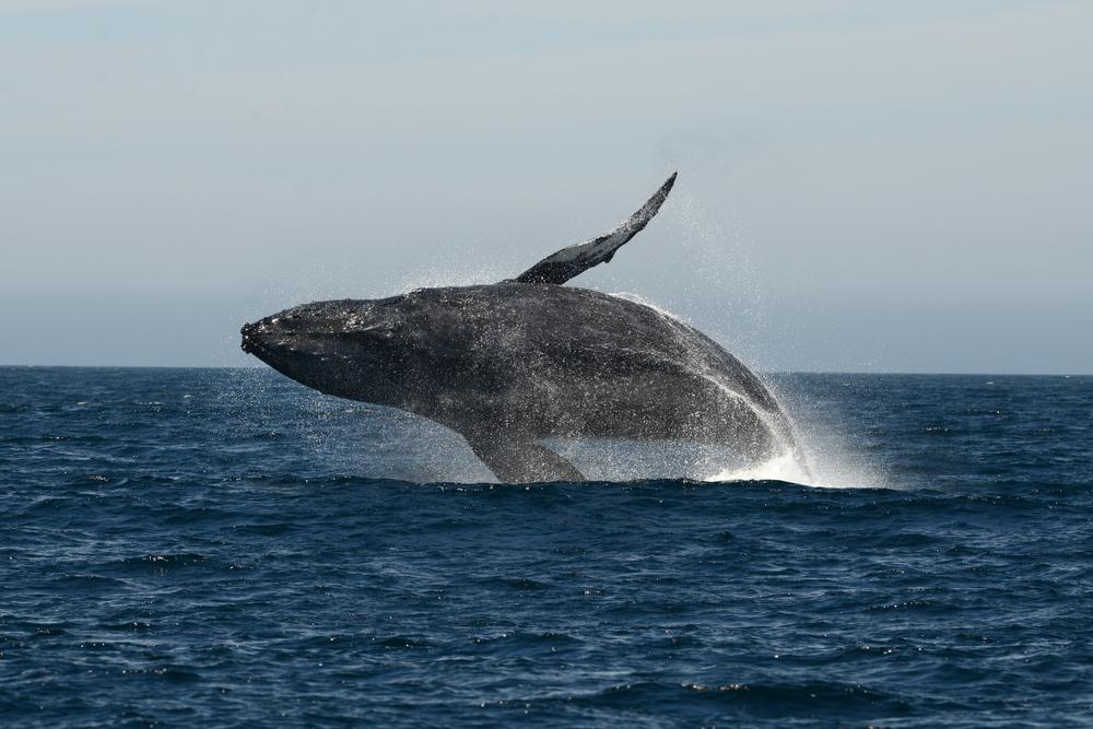 一條鯨魚可抵幾千棵樹!專家告訴你:為什麼「鯨魚」是緩解氣候危機的天然神器
