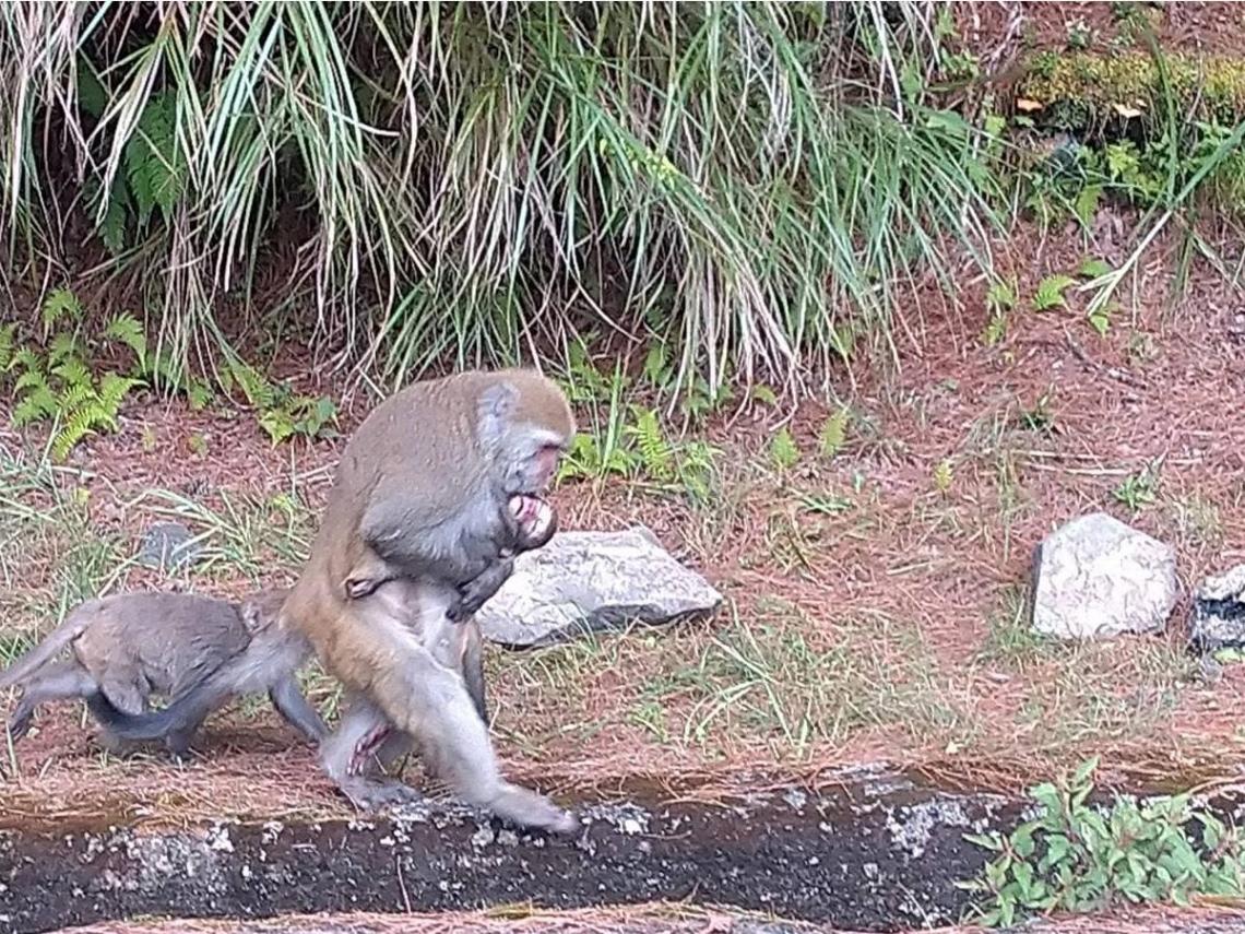 「忘記牠已不在...」玉山小獼猴遭撞死亡 母猴緊抱冰冷屍身5天4夜不忍放手