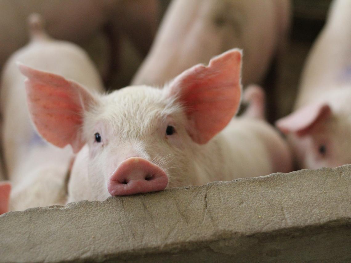 美豬牛來台,對食品股大成(1210)及卜蜂(1215)有影響嗎?有機會撿便宜嗎?專家這樣看