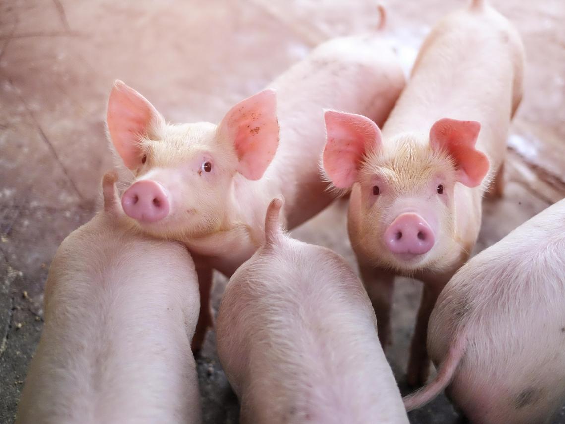 瘦肉精業配文被罵翻 科學人急下架、道歉 農委會再澄清:此投放廣告是期刊主動邀約