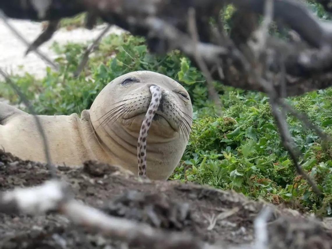 【屁孩海豹的次文化】年輕海豹流行把鰻魚塞進鼻孔裡,讓科學家滿頭問號