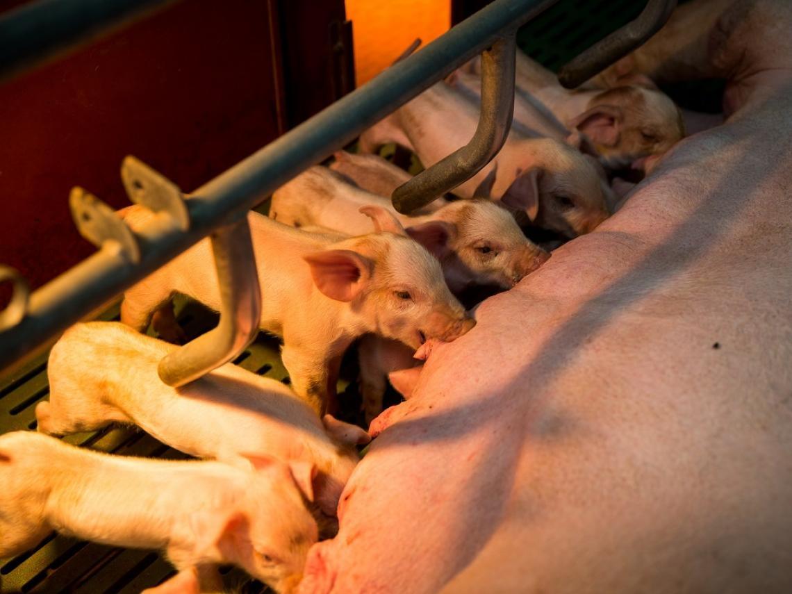 萊豬進口沒在怕》「你吃的豬每3頭有1頭出自這裡」,台灣種豬大王竟是這位53歲宜蘭大叔