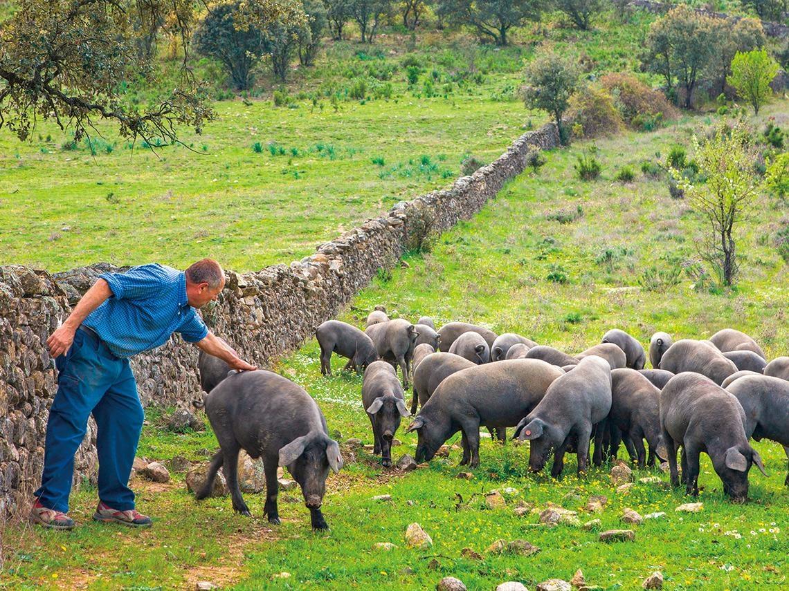 借鏡國際》縮短與伊比利豬的距離 台豬迎頭趕上的三大關鍵