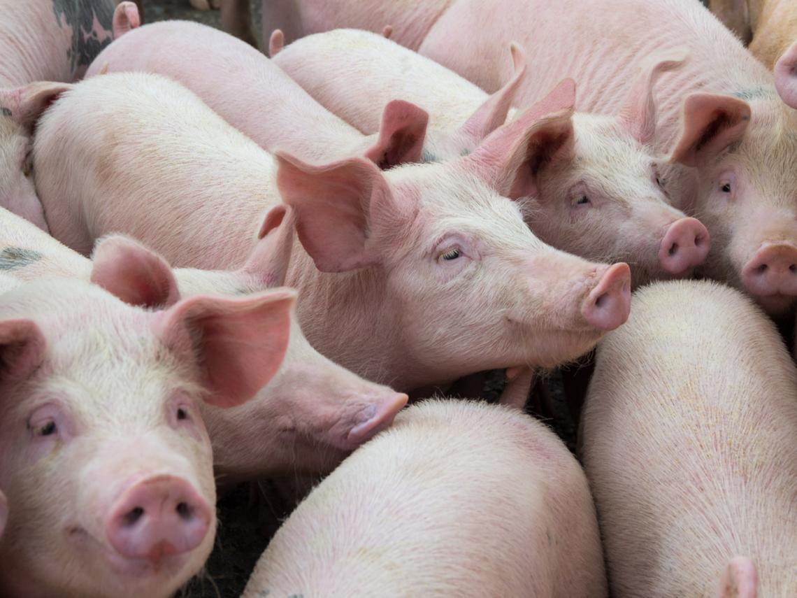 養精品豬聽莫札特不夠,還要睡冷氣房!全台最大養豬戶,為何砸百億元蓋高科技豬舍?