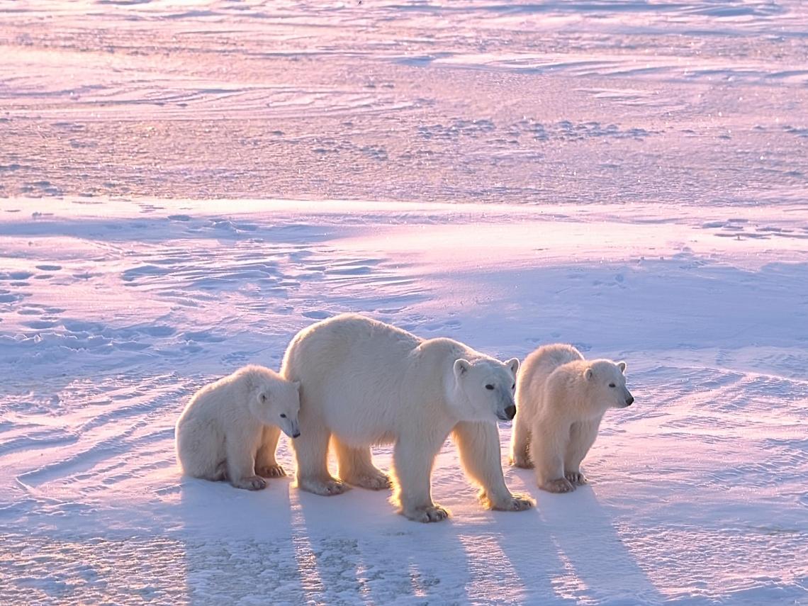 暖化讓動物也「過勞」...研究:北極熊、獨角鯨花 4 倍力氣求生存