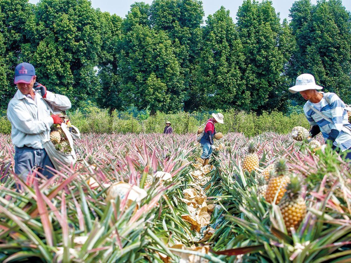 中國禁台灣鳳梨 轉銷日本該做哪些努力