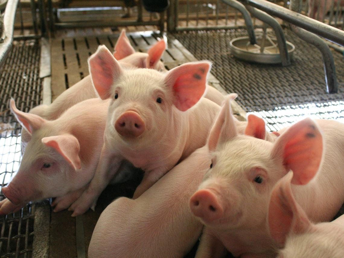 女醫師嫁給養豬戶,被質疑「社會地位不搭」...養豬7天賺贏醫師年薪,豬農徹底碾壓醫師的3個理由