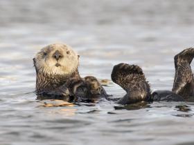不只會賣萌!研究發現海獺靠「進食」就能一起抗暖化