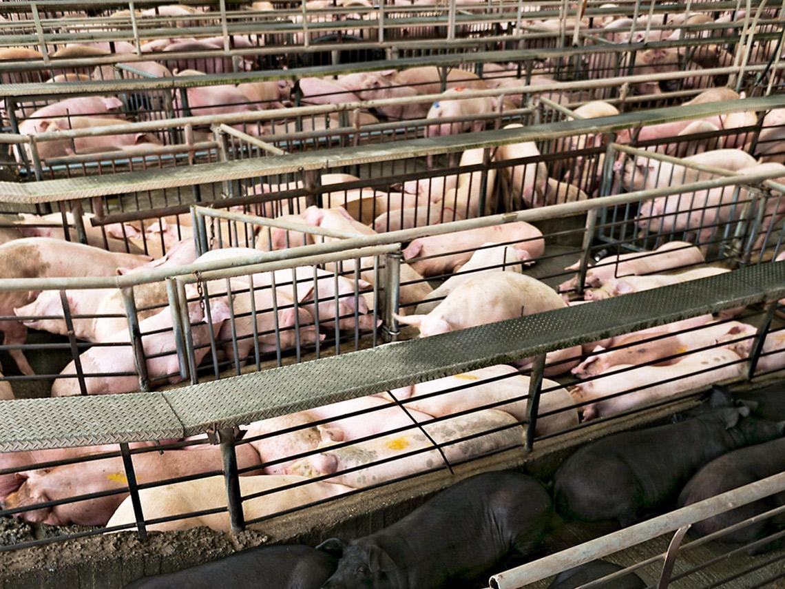 急著增加供給 小心端午豬價失控