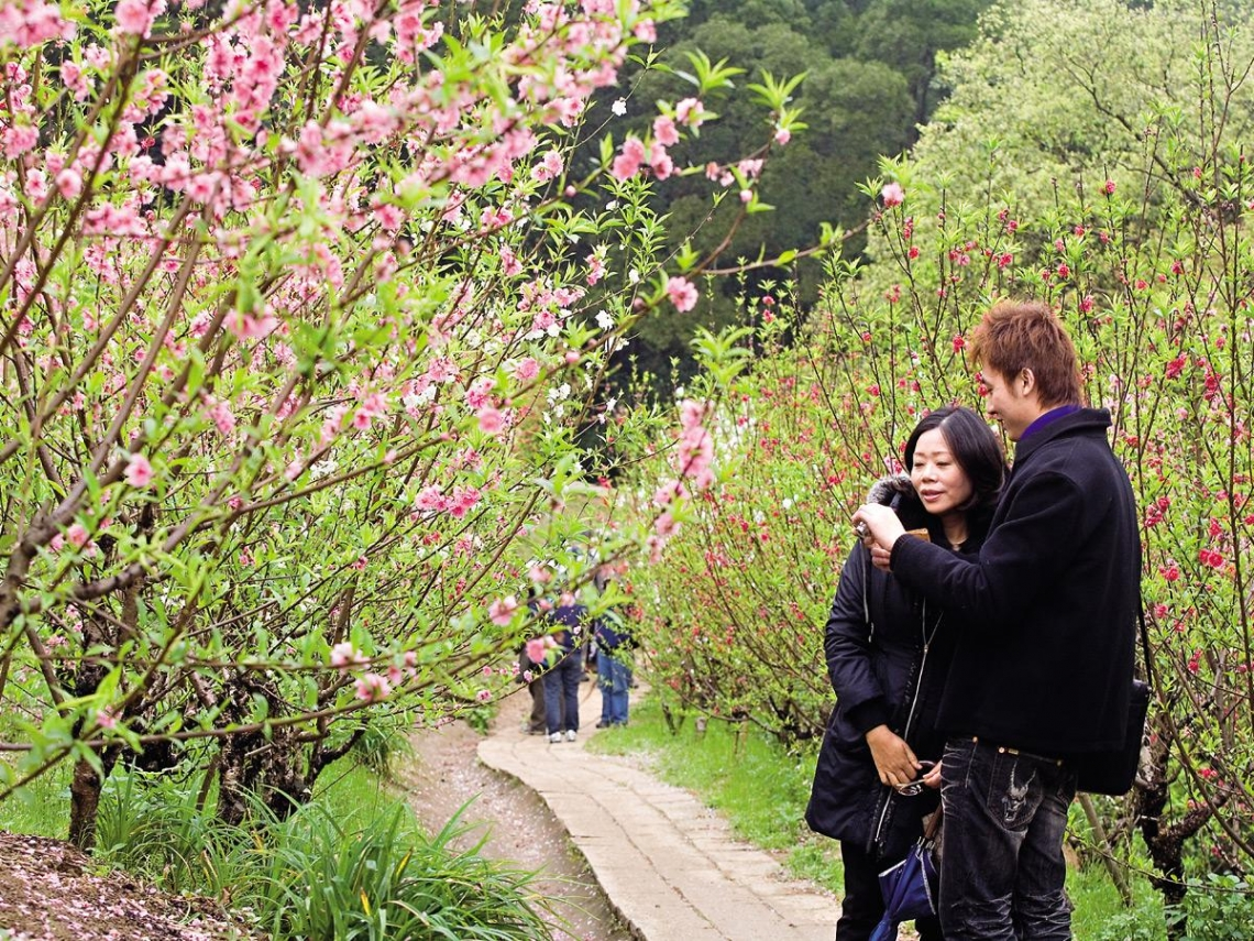 貓空杏花林  隱身山間的浪漫春色