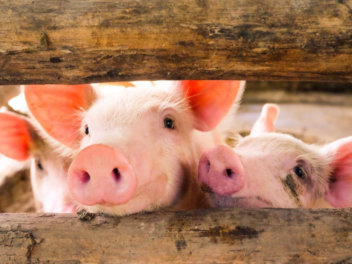 三隻小豬的台灣啟示錄
