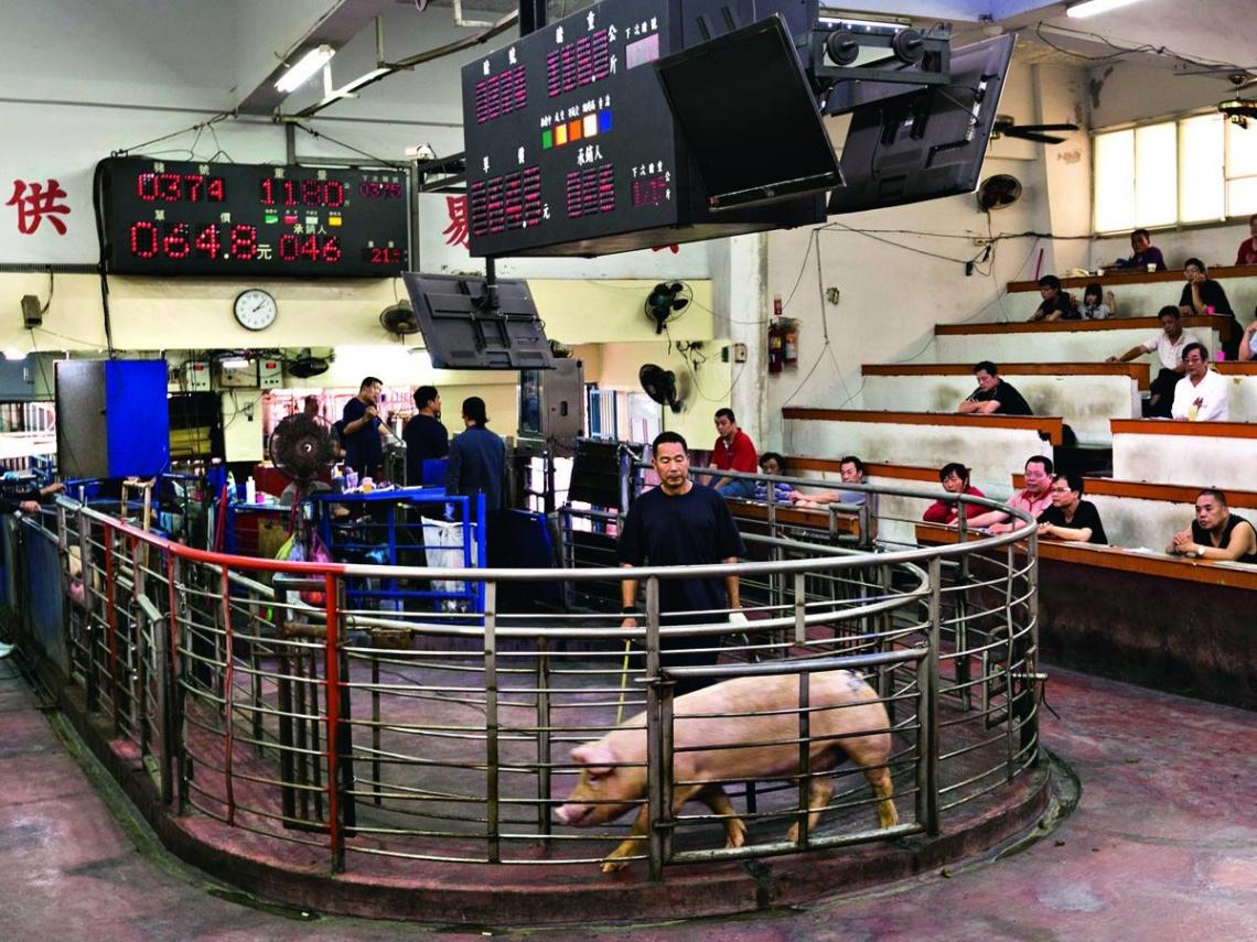 台灣豬  向下沉淪的奇幻漂流  五大惡劣環境重創養豬產業
