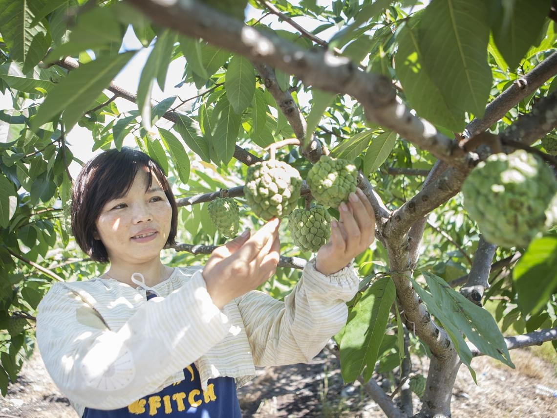 台東陸配女工 種鳳梨釋迦變身新富農