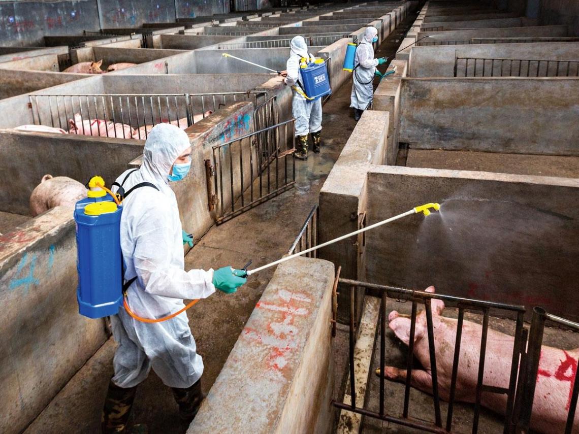 中國染瘟豬肉闖關  恐毀我千億產業鏈