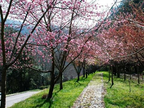 美到不輸日本!過年走春來賞櫻,全台8大景點大公開