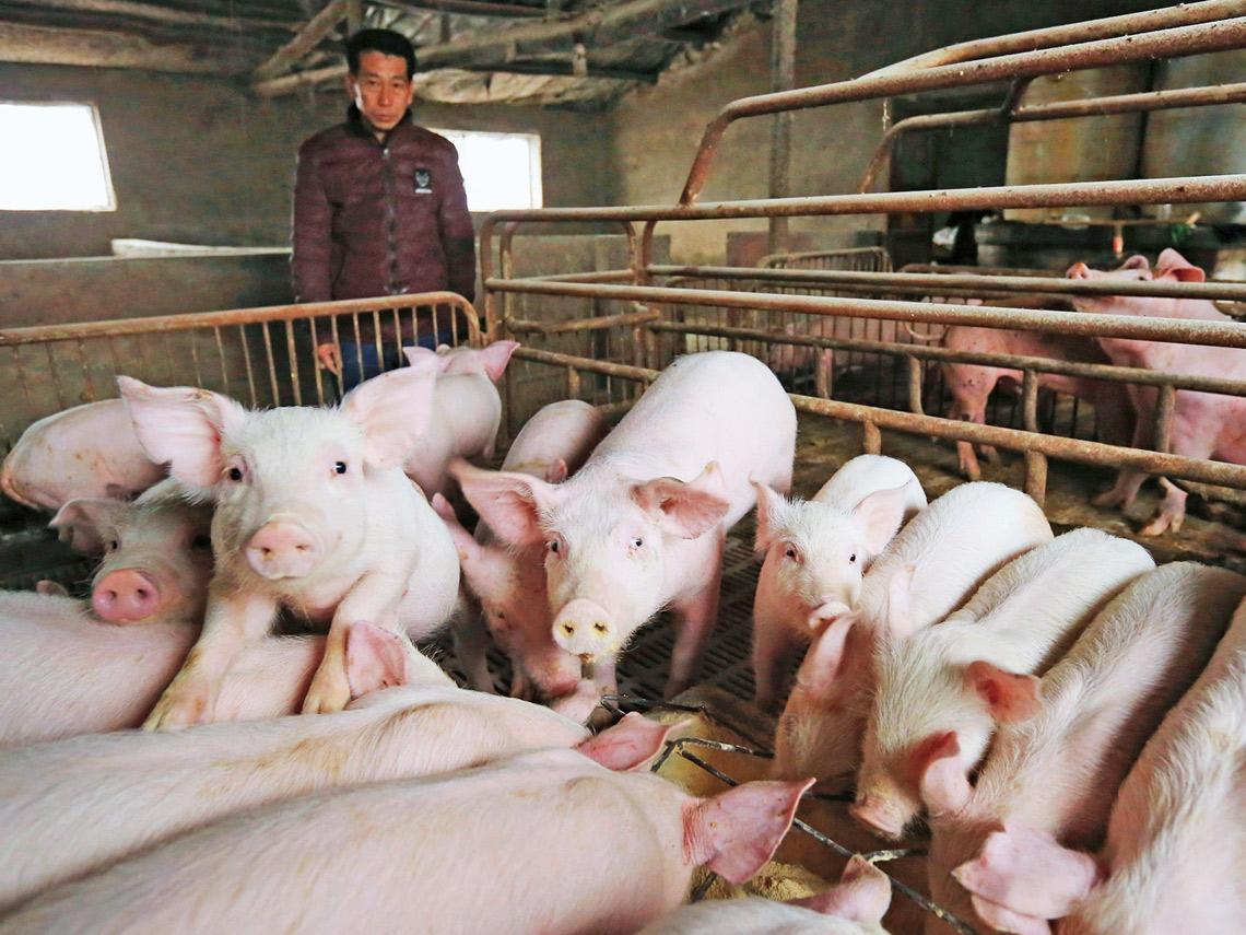 中國豬肉飛上天  非洲豬瘟催化通膨
