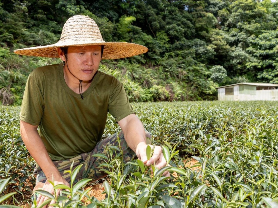林和春將茶園機械化 茶葉品質做適當分級