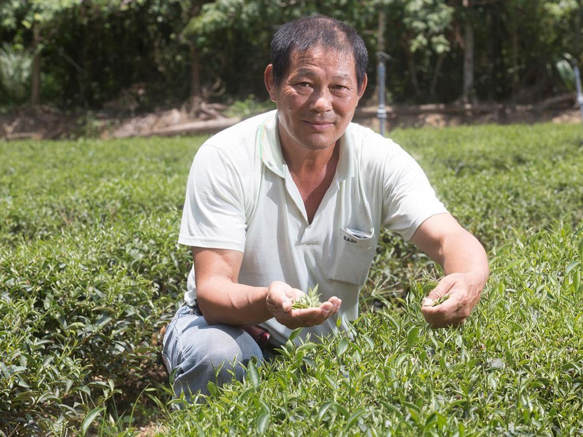 一斤101萬的茶竟然在台灣  新竹小山城如何靠「東方美人茶」成千萬富翁村?