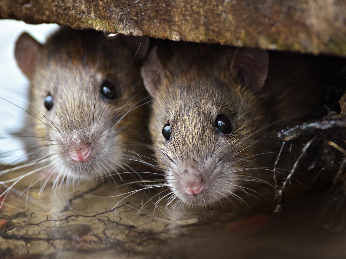 淘寶血拚「免費附贈」中國鼠疫? 疾管署闢謠揭「傳染途徑」