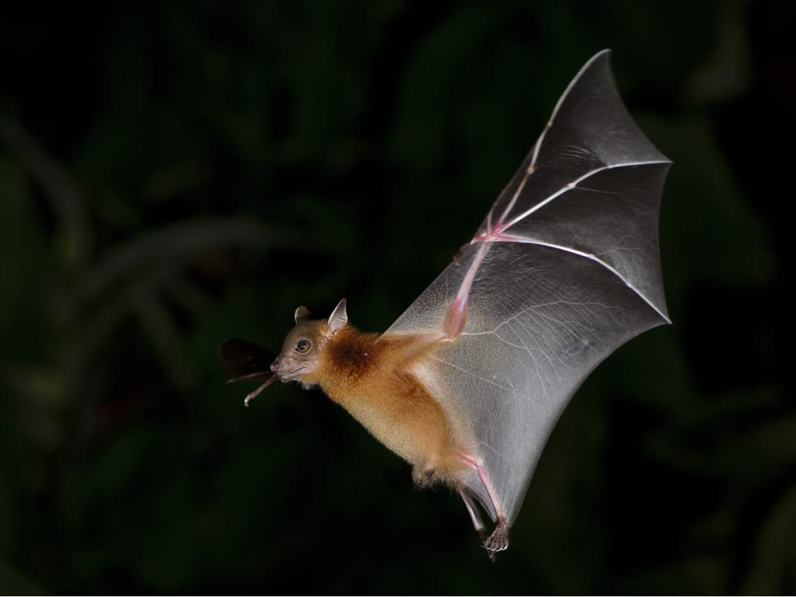 武漢肺炎、SARS…為什麼新病毒總是來自於蝙蝠?