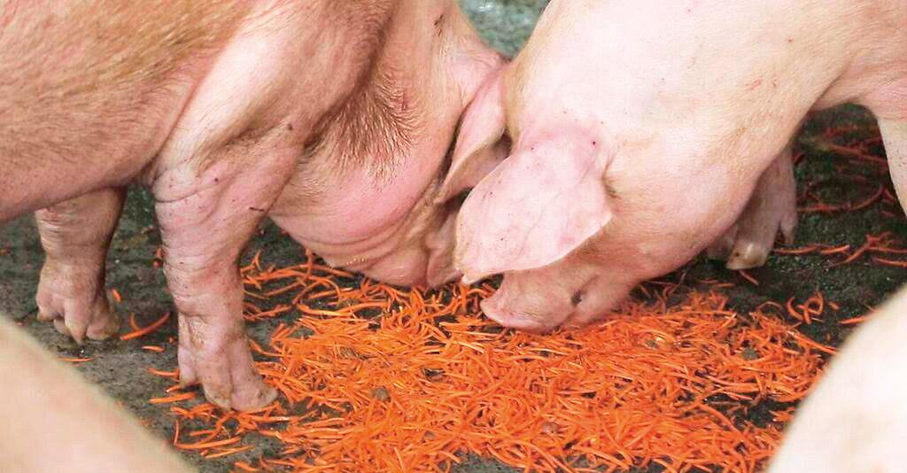 胡蘿蔔養豬