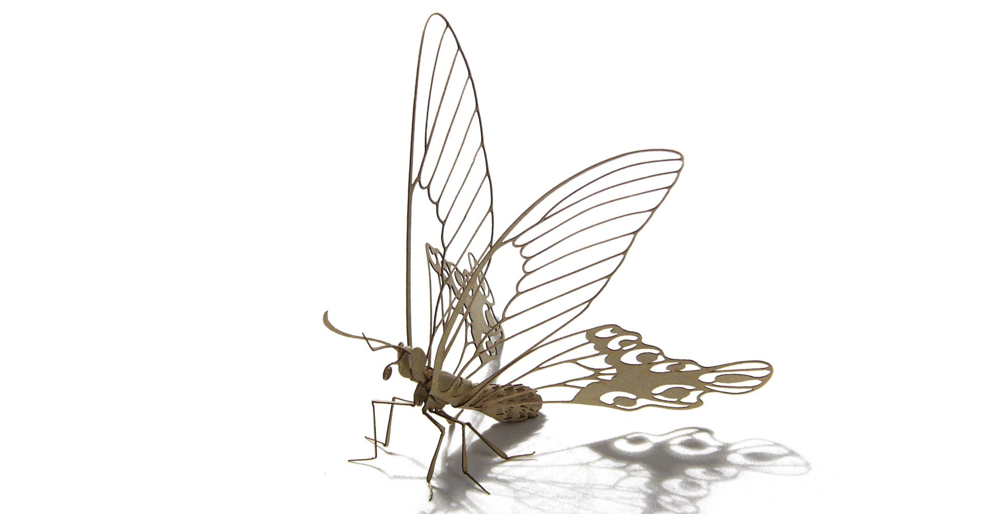 台灣寬尾鳳蝶