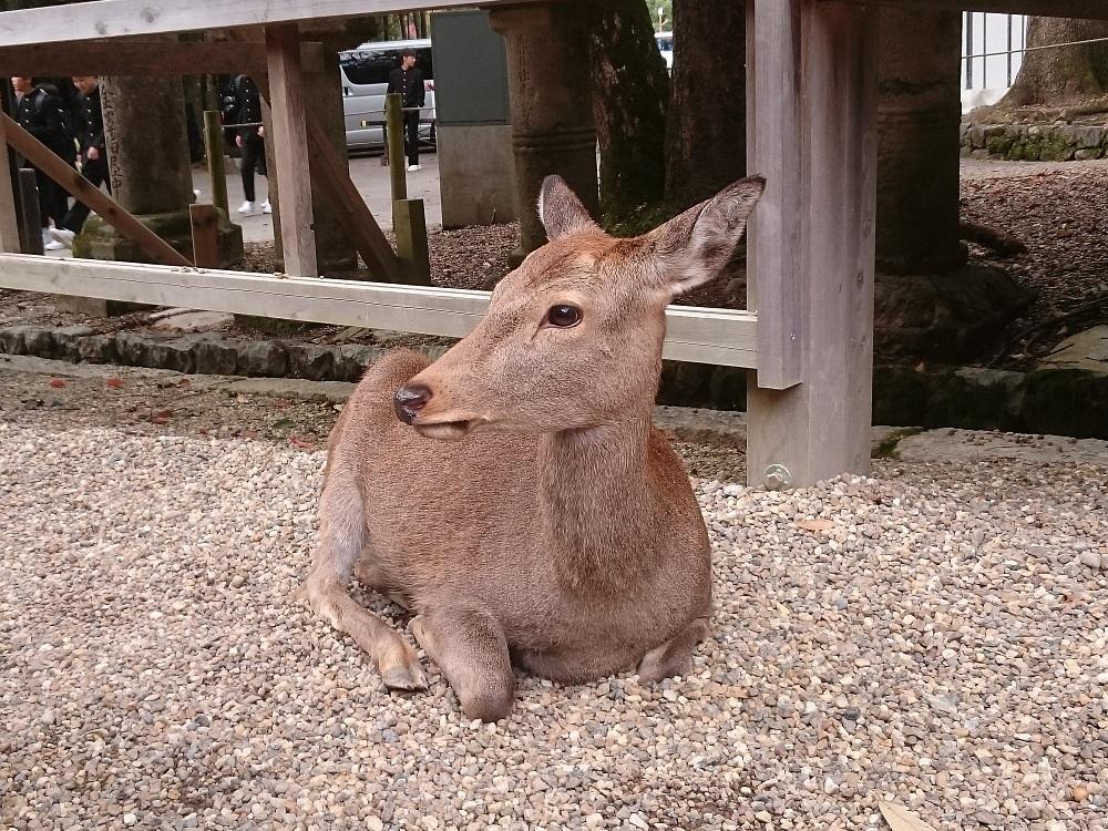 奈良鹿看似溫馴,實際上還是具有攻擊性的!