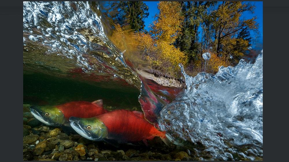 台灣攝影師吳永森拍攝「太平洋紅鮭」洄游,在世界級水中攝影大賽「World ShootOut」2018年獎項中,獲得「廣角」(Wide Angle)項目第一名。