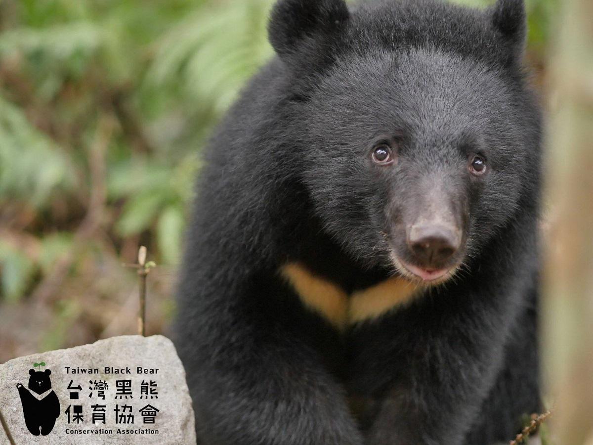 台灣黑熊瀕臨絕種「比熊貓更珍貴」登上CNN 「黑熊媽媽」籲大眾保護黑熊
