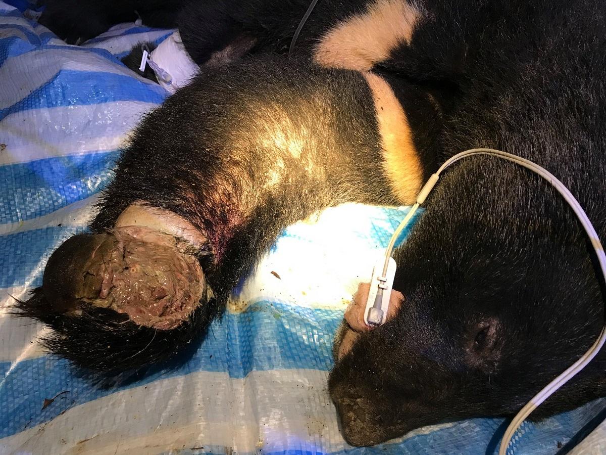 台灣黑熊誤中陷阱手掌受傷 台灣黑熊保育協會臉書