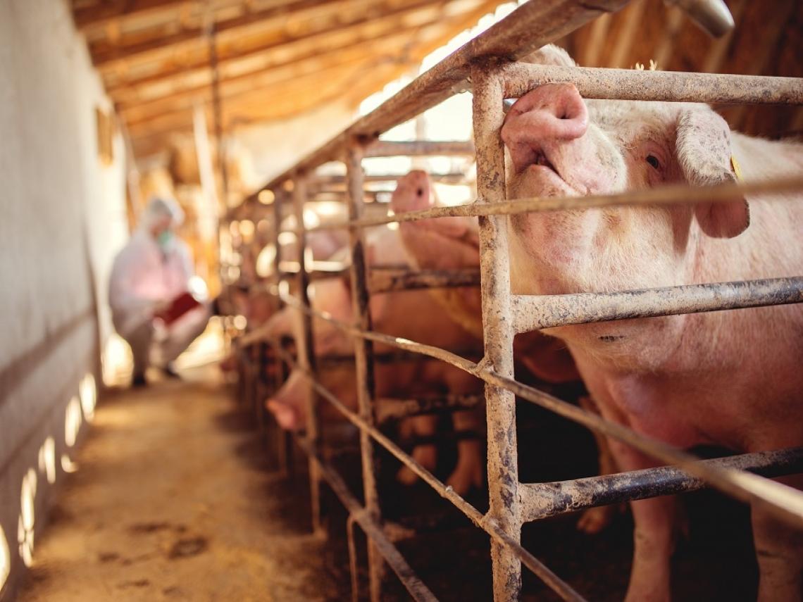 南韓爆非洲豬瘟!今下午1時起 自南韓攜帶豬肉品入境將罰20萬