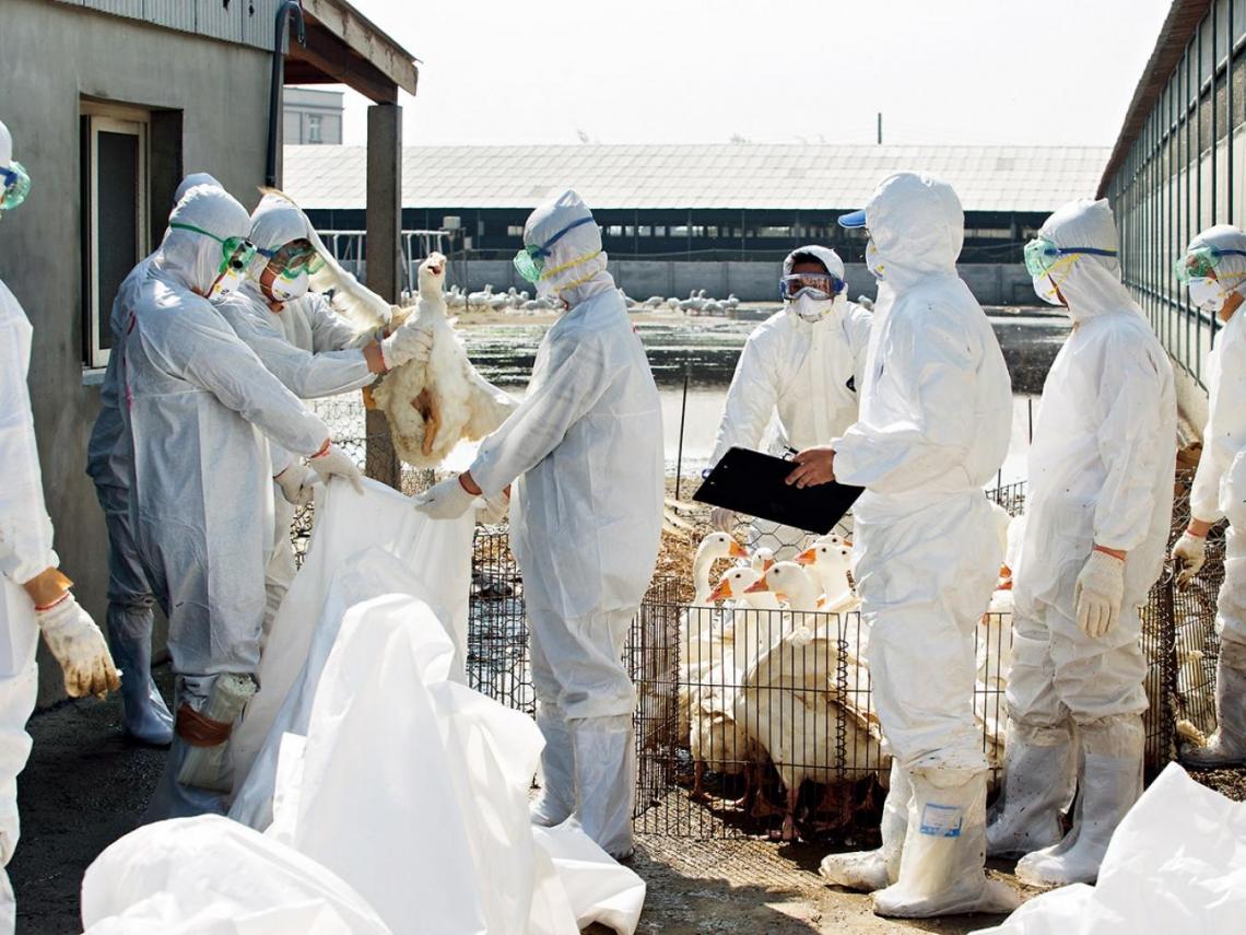 武漢肺炎擴散全中國 湖南再爆H5N1高致病性禽流感