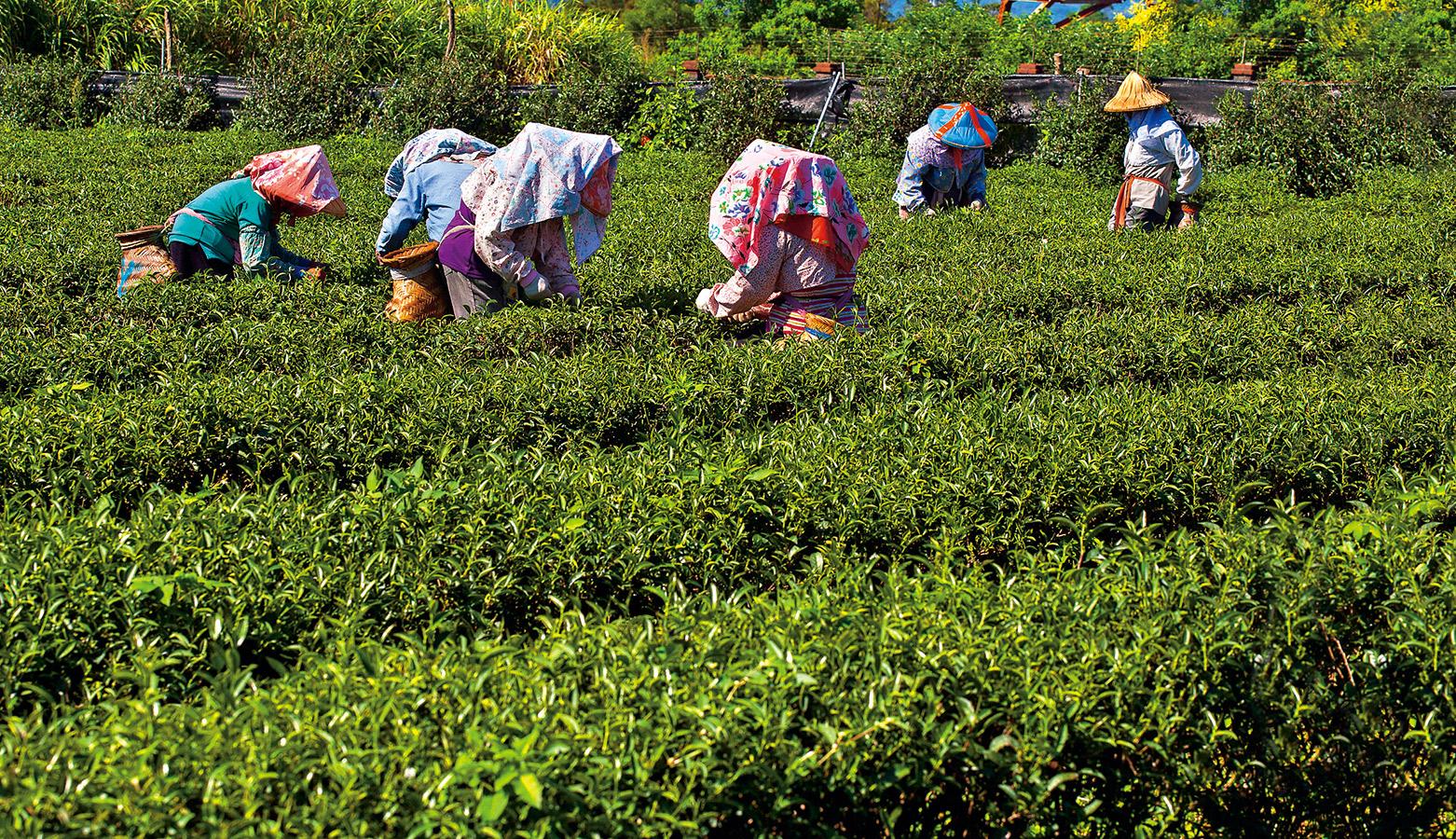 茶葉含農藥