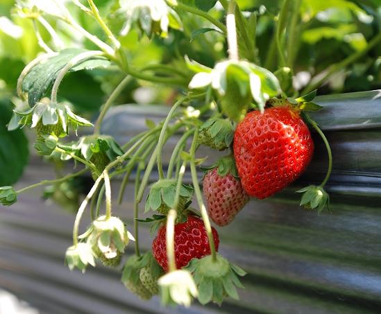 別再用溫室培養「草莓族」的下一代